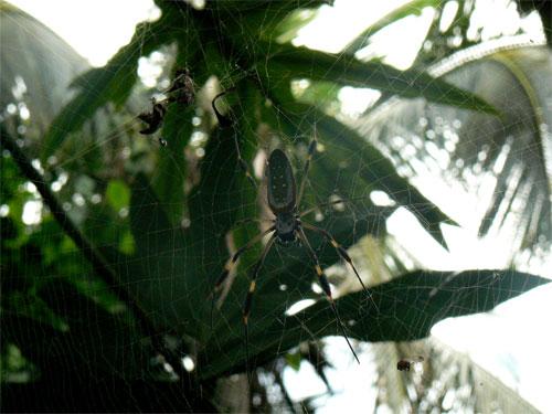 Araña en Cahuita