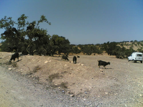 Las cabras en el Arganne