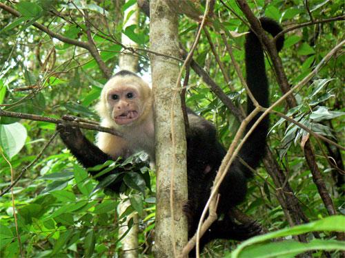 Mono de cara blanca en Manuel Antonio