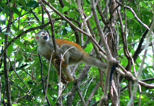 Un mono titi