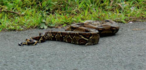 Serpiente terciopelo en una carretera de Arenal