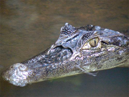 Un caiman en los canales de Tortuguero